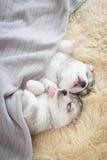Schlafen des Welpensibirischen huskys Lizenzfreie Stockfotografie