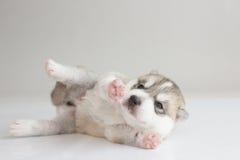 Schlafen des Welpensibirischen huskys Lizenzfreies Stockfoto