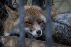 Schlafen Fox Stockbild