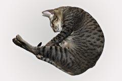 Schlafen gerollte Katze Stockfoto