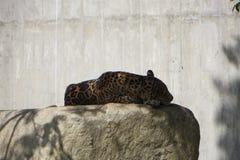Schlafen Jaguar stockbilder