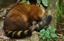 Schlafen koati Stockbild