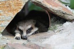 Schlafen meerkat Stockfotos