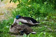 Schlafen mit zwei Enten stockfoto