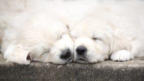 Schlafen mit zwei entzückendes golden retriever-Welpen Lizenzfreies Stockfoto