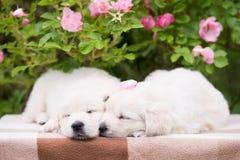 Schlafen mit zwei entzückendes golden retriever-Welpen Stockbild