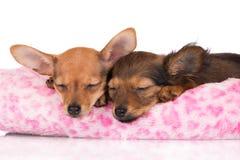 Schlafen mit zwei entzückendes Welpen Lizenzfreie Stockfotos