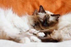 Schlafen mit zwei nettes Katzen Stockbilder