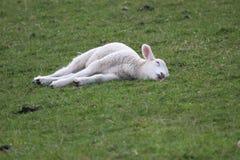 Schlafen ruhig als neugeborenes Lamm Stockbilder