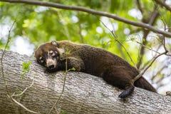 Schlafen weiß-gerochener Coati - Nasua narica - Costa Rica Lizenzfreies Stockfoto