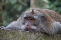 Schlafenaffe, Ubud, Indonesien Stockbild