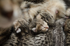 Schlafenbabykätzchen Lizenzfreie Stockfotografie