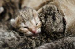 Schlafenbabykätzchen Stockfoto
