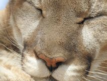 Schlafenberg Lion Close-Up Stockfoto