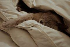 Schlafenbirmanische Flieder Lizenzfreies Stockfoto