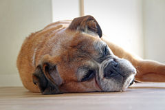 Schlafenboxerhund Stockfotos