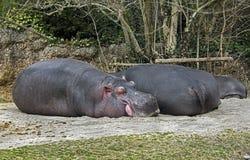 Schlafende Nilpferdfamilie 1 Lizenzfreie Stockbilder