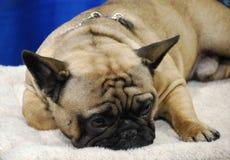 Schlafende Tan French Bulldog Lizenzfreie Stockbilder