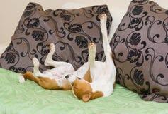 Schlafender Basenji-Hund, der in der lustigen Schlafenhaltung ist Stockfotos