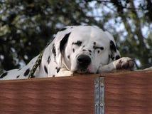 Schlafender Dalmatiner lizenzfreie stockfotos
