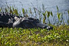 Schlafender Gator Kopf Stockfoto