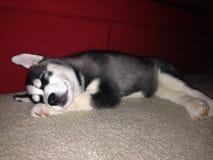 Schlafender Schlittenhund Lizenzfreies Stockfoto