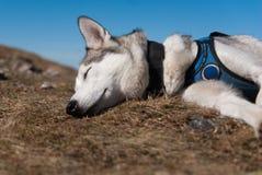 Schlafender sibirischer Schlittenhund lizenzfreie stockfotos