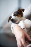 Schlafender Steckfassungsrussel-Terrier Stockbilder