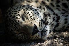 Schlafengepard Stockbild