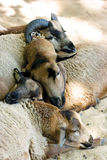 Schlafenhammelfleisch Lizenzfreies Stockfoto