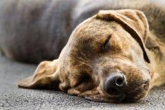 Schlafenhund Stockfotos