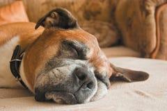 Schlafenhund Stockbild