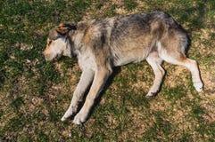 Schlafenhund Lizenzfreie Stockbilder