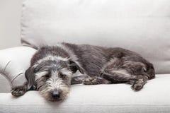 Schlafenhund auf neutralem Grey Color Couch Lizenzfreie Stockbilder