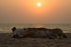 Schlafenhund auf Strand bei Sonnenuntergang stockbild