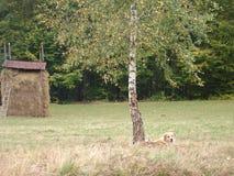 Schlafenhund in den ukrainischen Karpaten Stockbild