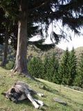 Schlafenhund in den ukrainischen Karpaten Stockfotografie