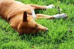 Schlafenhund in der Wiese Lizenzfreie Stockbilder