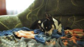 Schlafenhund im Lehnsessel Chihuahua oder SpielzeugTerrier stock footage