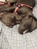 Schlafenhunde Lizenzfreie Stockfotos