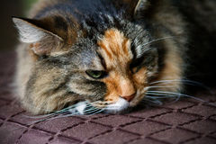 Schlafenkatze auf der Couch Lizenzfreie Stockfotografie