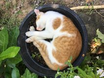 Schlafenkatze im schwarzen Blumentopf stockfotografie