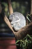 Schlafenkoala Australien Stockfoto