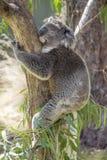 Schlafenkoala, der einen Baum in Phillip-Insel wi umarmt Stockfotografie
