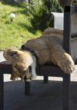 Schlafenlöwin am Zoo Stockbild