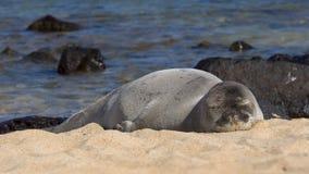 Schlafenmönchs-Robbe stockbild