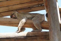 Schlafenmakaken-Affe Stockfoto