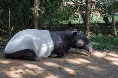 Schlafenschabrackentapire Tapirus Indicus lizenzfreie stockfotografie