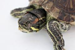 Schlafenschildkröte Lizenzfreies Stockfoto