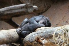 Schlafenschimpanse Stockbild